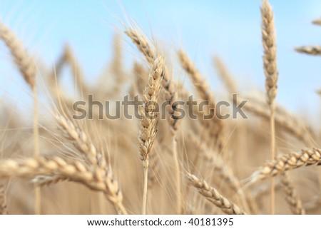 The ripe ears of wheat in field - stock photo