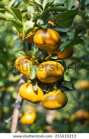 The ripe tangerine orchards in Lai Vung district, Dong Thap province, Vietnam. - stock photo