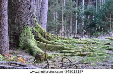 the roots of big old spruce, South Bohemia, Czech Republic - stock photo