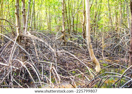 The roots of the mangrove trees - stock photo