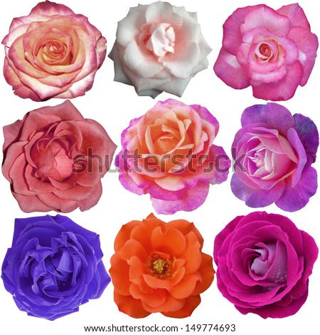 The rose blooms  - stock photo