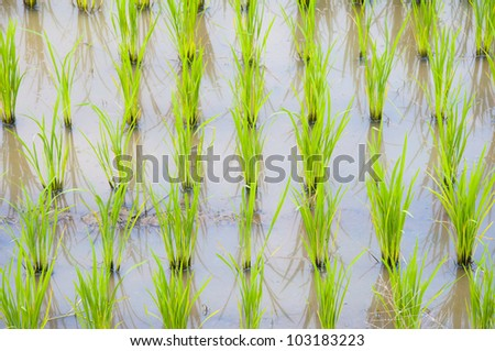 The row of rice . - stock photo