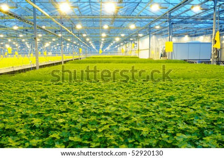 The rows of fresh dill and parsley growing in the greenhouse - stock photo
