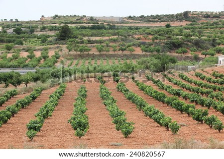 The Rows of grapes in a vineyard - stock photo