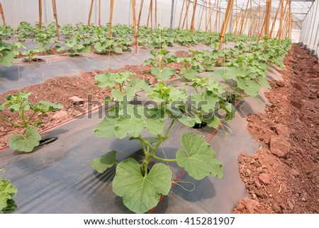 The rows of young melon plants growing in large plant nursery.  - stock photo