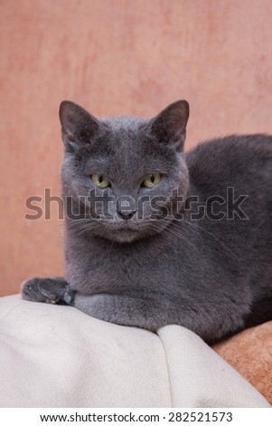 The Russian Blue cat - stock photo