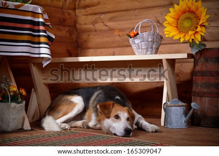 The sad dog lies under a bench in the rural house. Not purebred house dog. - stock photo