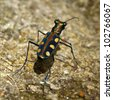 The Salt Creek tiger beetle (Cicindela nevadica lincolniana) - stock photo