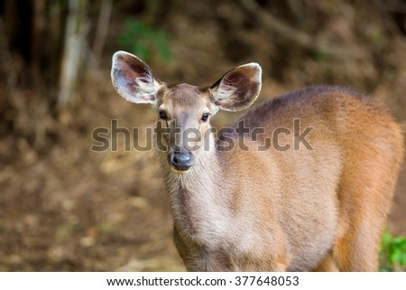 The sambar is a large deer native to the Indian subcontinent, southern China and Southeast Asia. This deer commonly preyed upon by tigers, but due to the decline in tigers it is now a common sight. - stock photo