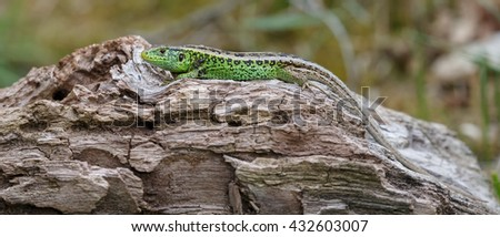 The sand lizard (Lacerta agilis) on a sunny day in nature  - stock photo