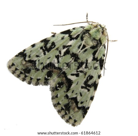The Scarce Merveille du Jour (Moma alpium) moth isolated on white - stock photo