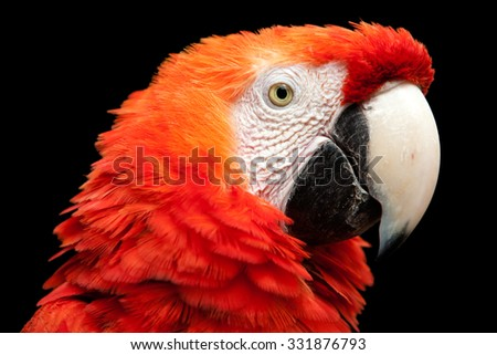 The Scarlet Macaw Is A Large Colorful Macaw It Is Native To Humid Evergreen Forests In The American Tropics Range Extends From Extreme South Eastern Mexico To Amazonian Peru Bolivia And Brazil - stock photo