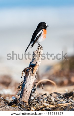The Scarlet Robin, Petroica boding, is a common red-breasted Australasian robin in the passerine bird genus Petroica. Found on continental Australia and its offshore islands, including Tasmania.  - stock photo