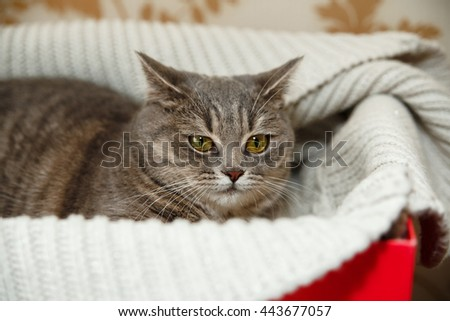 The Scotch Grey Cute Cat is Sitting in the Knitted White Sweater in the Red Box.Animal Fauna,Interesting Pet. - stock photo
