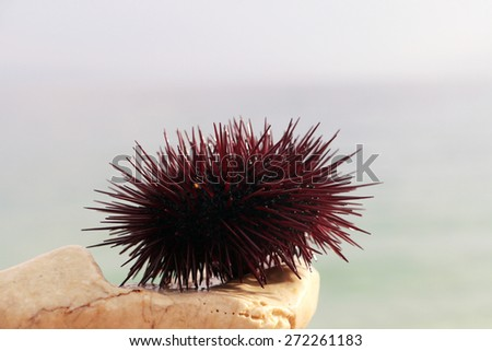 The sea urchin is on the stone - stock photo