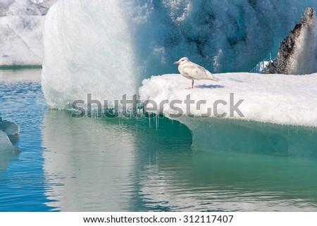 The seagull is sitting on an iceberg at Jokulsarlon glacier lagoon, Iceland - stock photo