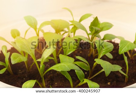 The seedling shoots lit with the sun. Young green plants for disembarkation to the soil. Close up, light background, small depth of sharpness - stock photo