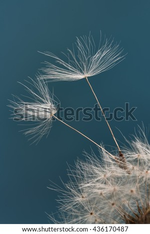 The seeds of a dandelion on a color background - stock photo