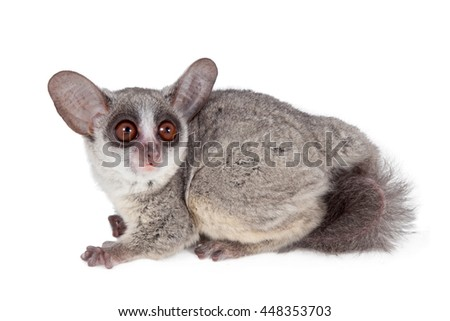 The Senegal bushbaby, Galago senegalensis, isolated on white background - stock photo