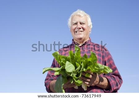 The senior farmer holding fresh picked lettuce happily. - stock photo