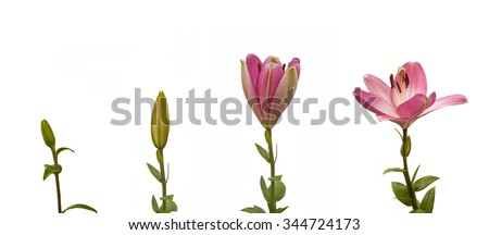 The sequence of blooming flower pink lily Oriental hybrids on a white background isolated - stock photo