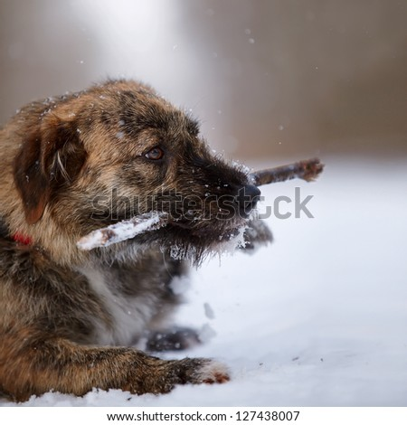 The shaggy mongrel gnaws a stick. Dog on snow. - stock photo