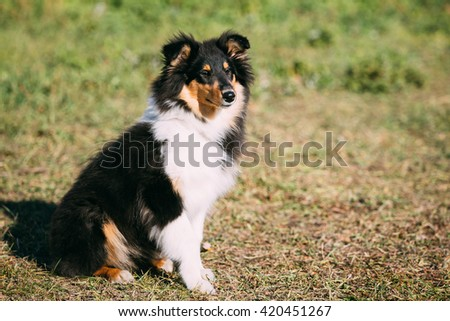 The Shetland Sheepdog, Sheltie, Collie Puppy. This breed of herding dog. They are vocal, excitable, energetic dogs who are always willing to please and work hard - stock photo