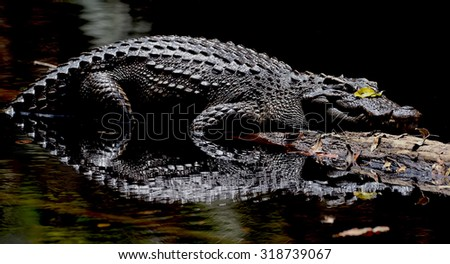The Siamese crocodile (Crocodylus siamensis) is a freshwater crocodile native  - stock photo