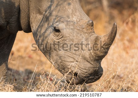 The side view of a white Rhino head and horn. - stock photo