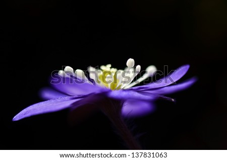 The sign of spring - hepatica - stock photo
