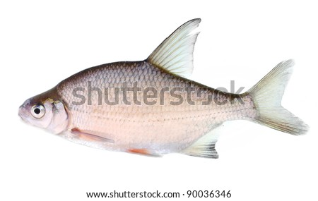 The Silver Bream (Abramis Brama) is a fresh or brackish-water fish belonging to the family Cyprinidae. - stock photo