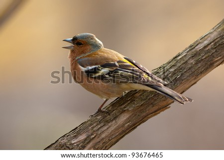 The singing chaffinch on a branch close up - stock photo