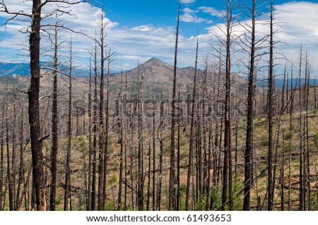 The skeletons of trees still lace the landscape in Pike National Forest where the Hayman Fire burned 135,000 acres in the Rocky Mountains of Colorado. - stock photo