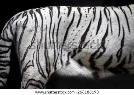 The skin of white tiger. - stock photo