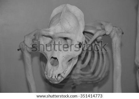 The skull of Australopithecus africanus from Africa isolated on the white  or gray background - stock photo