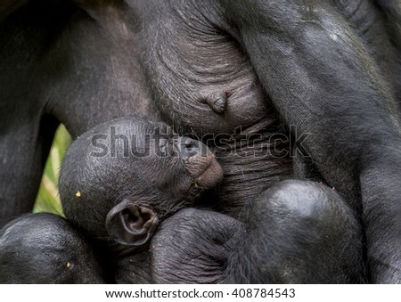 The sleeping cub  chimpanzee  Bonobo ( Pan paniscus) on a breast of the nursing Mother. Portrait close up. Democratic Republic of Congo. Africa      - stock photo