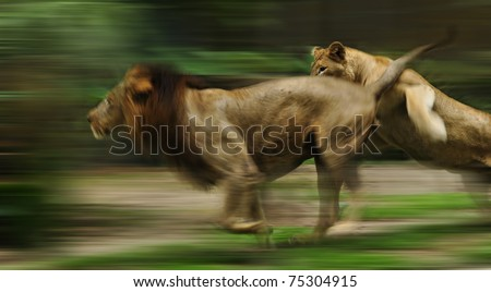 The slow motion of the running lions in forest - stock photo
