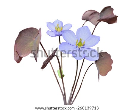 The small blue flowers (Jeffersonia dubia). Isolated on white. - stock photo