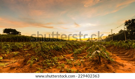 The small cassava in moning. Thailand is top Exporter of cassava in the world. The cassava can more use product for example food feed Textile industry paper industry plywood industry  - stock photo
