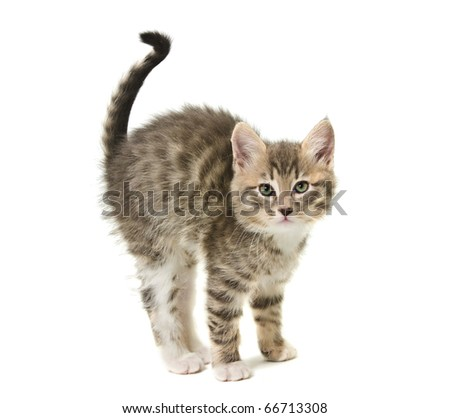 The small kitten has curved a back against white background - stock photo