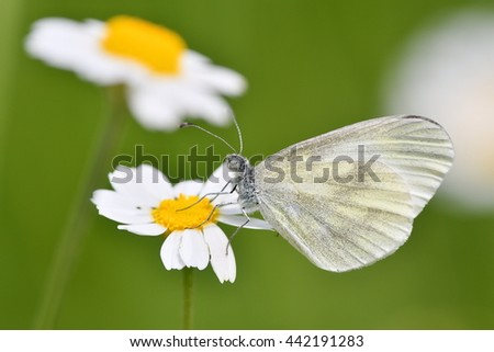 The small white (Pieris rapae) sitting on white flower outdoor in spring - stock photo