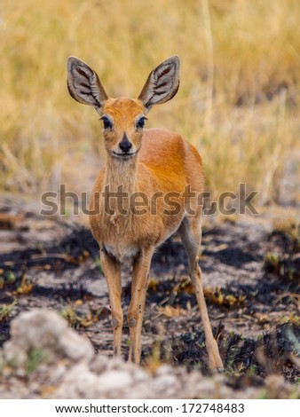 The smallest antelope in the world - Kirk's dik-dik (Madoqua kirkii) - stock photo