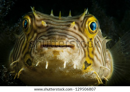 The smiling face of a puffer fish taken in the Bahamas - stock photo