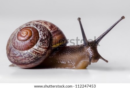 The snail close-up, macro. On gray background. - stock photo