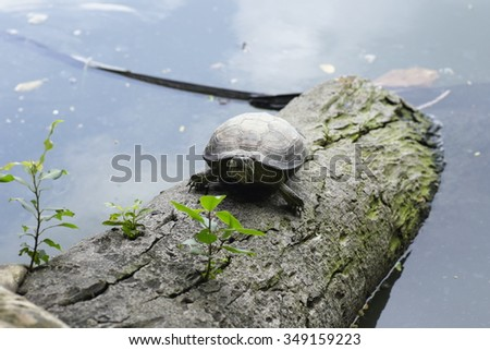 The Snail-eating turtle living near a little pond  - stock photo