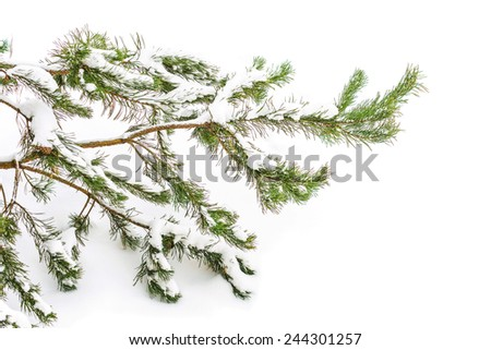 The snow-covered branch of a fir-tree flies on pure snow - stock photo