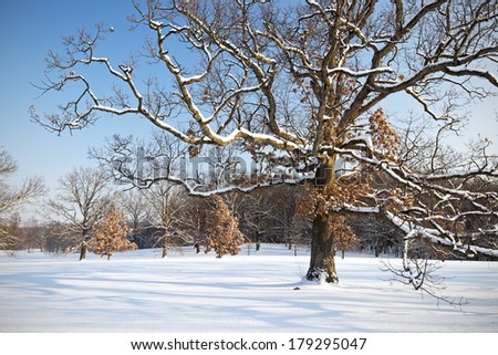 The snow-covered branches of a majestic mature oak tree spread over a winter landscape on a cold winter morning at The Morton Arboretum, Lisle, Illinois. - stock photo