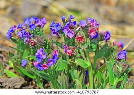 The softest lungwort ( Pulmonaria mollis ). Medicinal wild plants of Siberia - stock photo