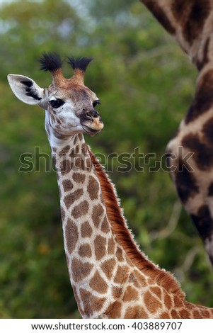 The South African giraffe or Cape giraffe (Giraffa camelopardalis giraffa) , portrait of a young giraffe - stock photo