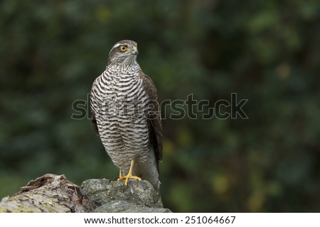 The sparrow-hawk  - stock photo